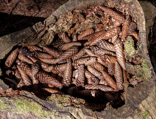 many fir tree cones in the stump