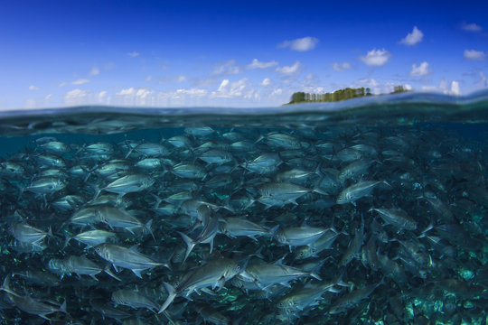 Fish in sea and ocean surface with blue sky. Trevally fish at Sipadan Island, Malaysia