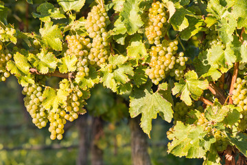 ripe white Riesling grapes on vine in vineyard