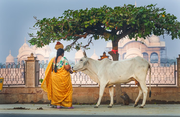 Pilgrims are fed with bananas cow is a sacred animal in the background Kusum Sarovar Govardhan Mandir. Wall mural