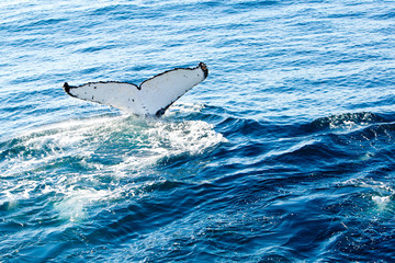 Humpback Whale diving - showing white underside of tail