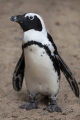 Fototapete - African penguin (Spheniscus demersus)