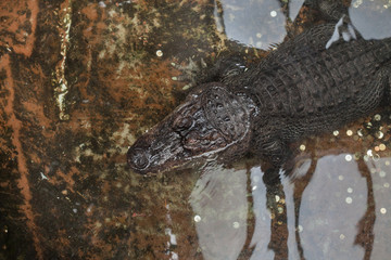Nile crocodile (Crocodylus niloticus).
