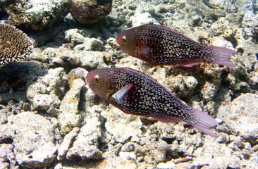 Fishes in corals. Underwater world.Scarus ferrugineus
