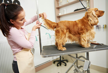 Female groomer trimming cocker spaniel's tail at dog grooming salon