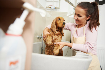 Female groomer bathing cocker spaniel in bath at dog grooming salon