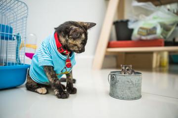 Thai kitten and Cute Hamster, Thai Cat , Asia Cat, Hamster