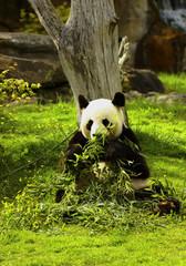 Foto auf AluDibond Pandas beauval panda