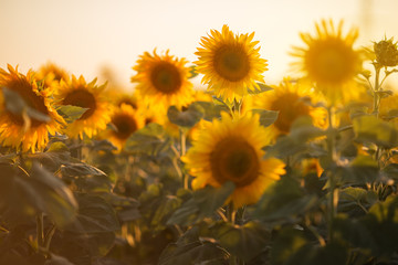 Closeup picture of sunflowers over sunset lights, summer time