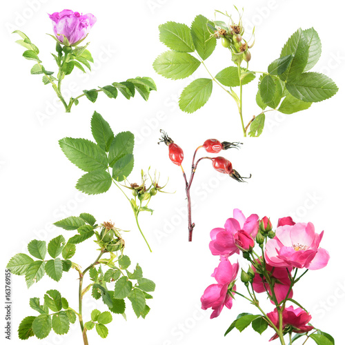 Different types of rose with flowers and rose hips isolated on white different types of rose with flowers and rose hips isolated on white background branch of mightylinksfo