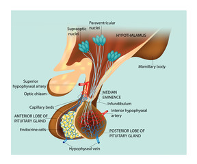 Medical Education for Pitutary Gland Diagram and Hypothalamus.