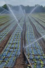 artificial watering of saladfield