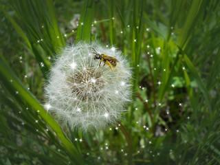 пчелка на белом одуванчике с рассеянными вокруг блестками на зеленом размытом фоне