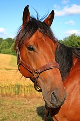 braunes pferdeportrait im kornfeld