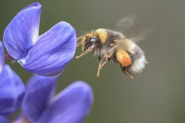 bumblebee  flying