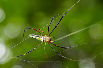 Image of Spider Nephila Maculata, Gaint Long-jawed Orb-weaver (female) in the net. Insect Animal