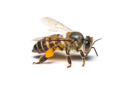 A close up photo of honey bee on white background.