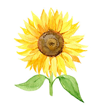Sunflower isolated on white background, watercolor illustration