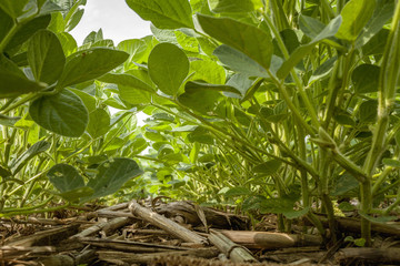 Looking down a row in a no-till immature soybean field in July with corn residue from the previous year on the ground.