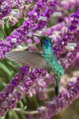 Hummingbird(Trochilidae)