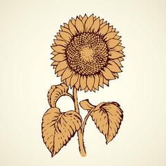 Vector illustration. Sunflower