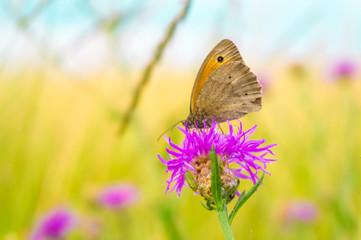 Butterfly on a meadow flower