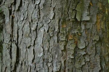 Серая кора старого дерева каштана конского Aesculus hippocastanum