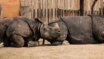 Couple of Indian rhinos sleep together