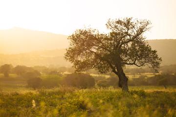 Foto op Aluminium Olijfboom Olive tree at sunset light