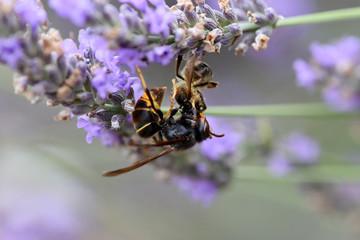frelon asiatique qui tue une abeille