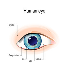 Anatomy of the human eye in front view
