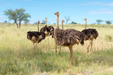Fotobehang Struisvogel eine Gruppe von Vogel Strauß, struthio camelus, im Kgalagadi-Transfrontier-Nationalpark, Südafrika