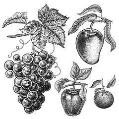 Apple, mango, mandarin, grapes. Realistic hand drawing.