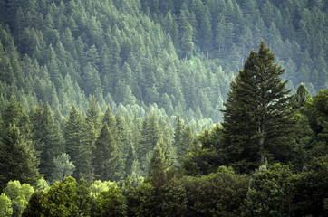 Pine Forest During Rainstorm Lush Trees Wall mural