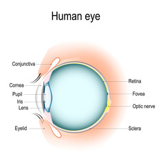 Vertical section of the human eye and eyelids