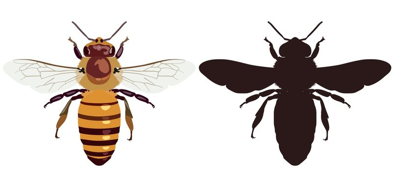 Color image of the bee and its dark silhouette. Vector illustration.