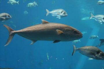 tuna - bluefin tuna swimming underwater background, known as  Atlantic bluefin tuna (Thunnus thynnus) , northern bluefin tuna, giant bluefin tuna or tunny. stock, photo, photograph, image picture