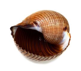 Wet seashell of very large sea snail (Tonna galea or giant tun)