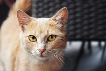 Portrait of Beautiful Ginger Cat