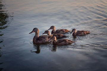ducks in a row on the water