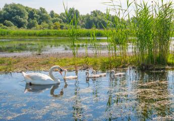 Foto op Plexiglas Zwaan Swans and cygnets swimming in a lake in summer