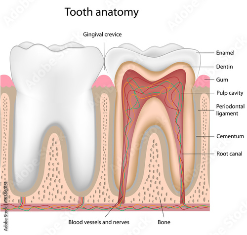 Tooth Anatomy Labeled Stock Photo And Royalty Free Images On