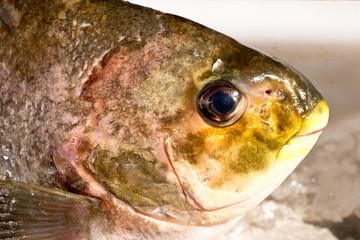 Preparing freshly caught fish