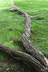 The roots of the trees on the grass.