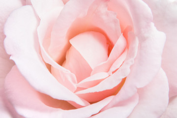 Close-up of pink rose background soft