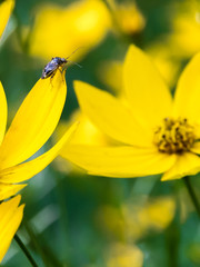 Insect on Coreopsis flower