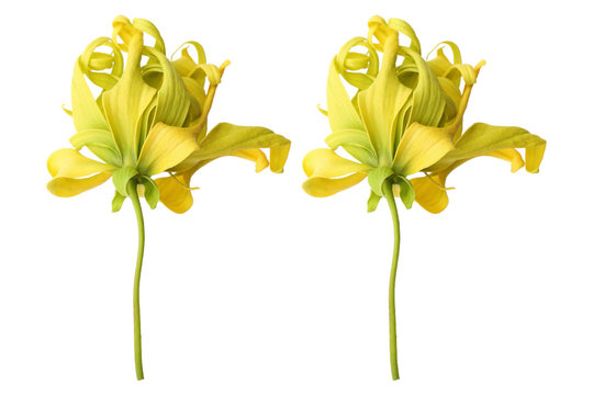ylang ylang flowers isolated on white