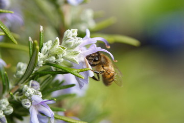 Rosemary Flower and Honey Bee