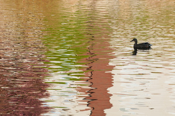 Duck in reflections in water at sundown