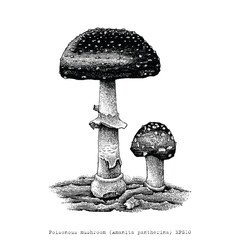 Poisonous mushroom hand drawing engraving illustration